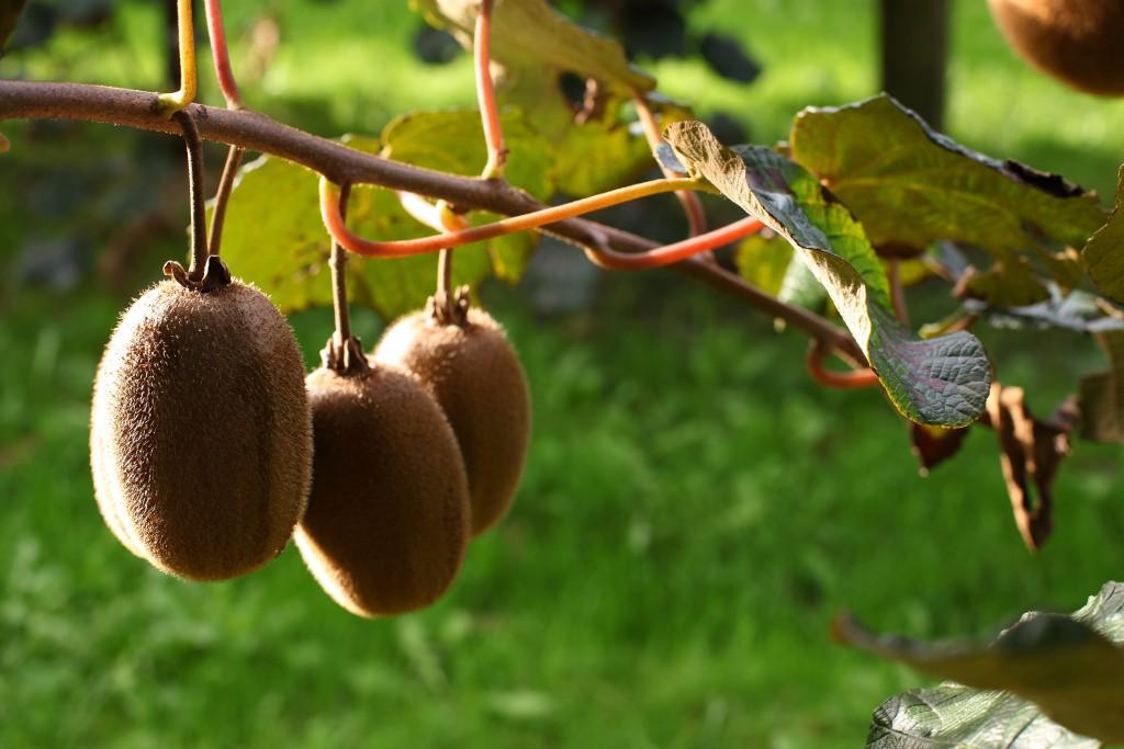 Oscar Kiwi® sẵn sàng cho vụ mùa mới bổ sung nạp đầy vitamin!